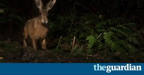 Guardian Country Diary hare